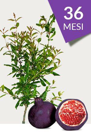 Pianta di Melograno Viola o Nero (varietà rara) da 36 mesi