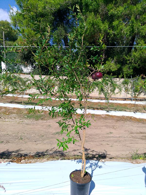 Pianta di melograno viola o nero variet rara da 36 mesi for Piante da cespuglio