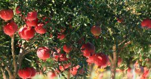 Cassetta di melagrane italiane 20 kg varietà Ako prodotte in Italia. La varietà di melagrane Ako è caratteristica per il frutto color rosso rubino.