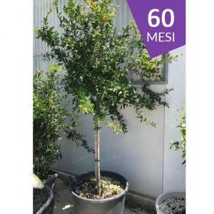 Albero di Melograno Viola o Nero (varietà rara) di 5 anni - MyWLife