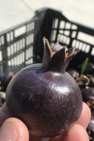 Melograno Viola o Nero (varietà rara)