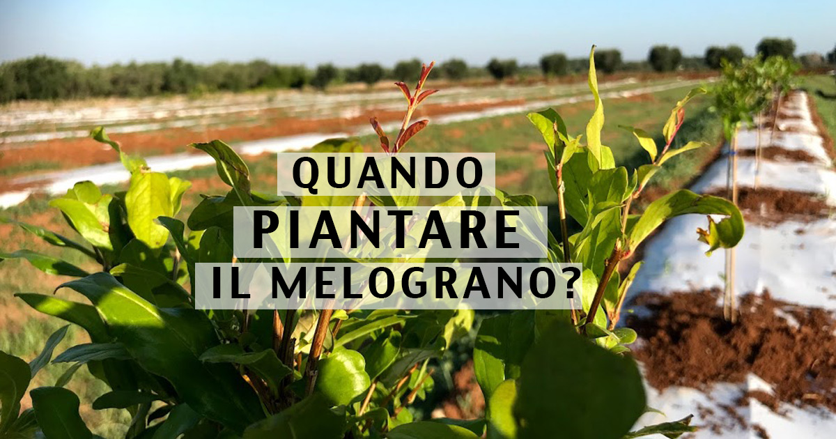 Quando piantare il melograno?