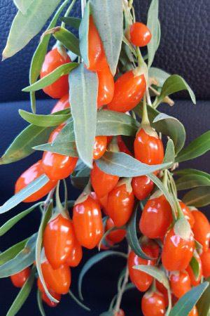 Vendita pianta di Goji (Lycium Barbarum) da 18 mesi ad elevata produttività. Pronta alla piantumazione. La pianta della giovinezza dalle bacche ricche di micronutrienti e principi attivi.