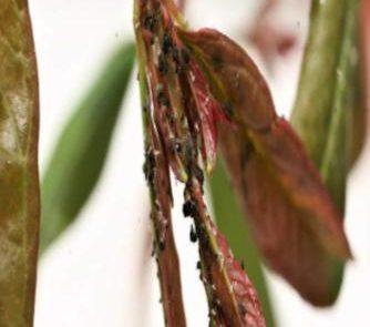 I fitofagi del melograno: un approfondimento su afidi e aleurodidi