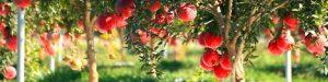Vendita piante di melograno online - Varietà Wonderful, Ako e Viola