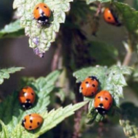 Coccinelle adulte