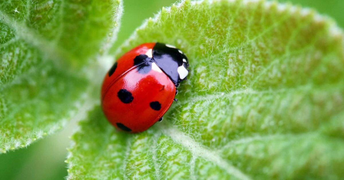 Coccinelle e altri insetti utili per la coltivazione biologica