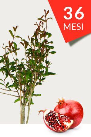 Vendita pianta di Melograno Ako da 36 mesi. Pronta alla piantumazione e ad alta produttività. Frutti di colore rosso intenso e dal sapore dolce e piacevole