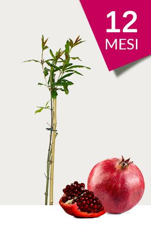 Pianta di Melograno Mollar 12 - Varietà a seme morbido in vendita